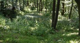Park miejski niczym dżungla, plac Paderewskiego jak las