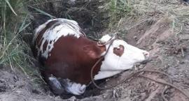 Na ratunek krowie