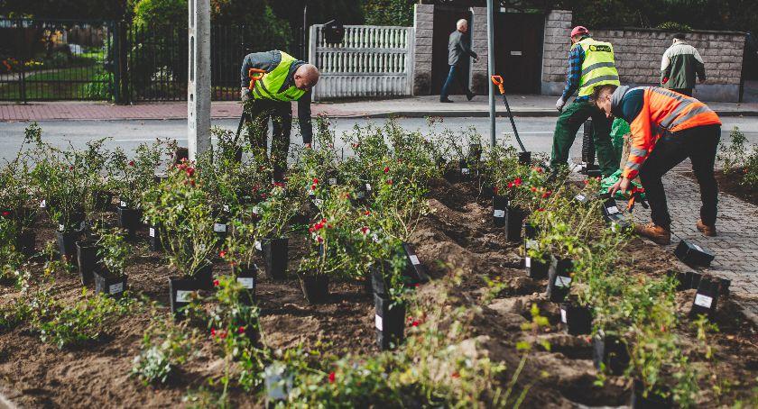 Wokół Nas, Blisko setka drzew tysiące krzewów innych roślin sadzenie zieleni płockich ulicach - zdjęcie, fotografia