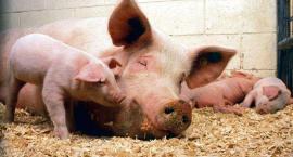Konsekwencje afrykańskiego pomoru świń