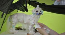 Najpiękniejsze psy przyjadą do Gostynina. Już 4 czerwca
