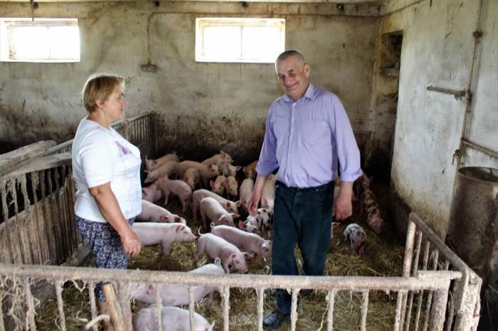 Społeczeństwo, Wirus afrykańskiego pomoru świń coraz bliżej - zdjęcie, fotografia
