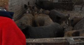 Świniodziki mają zostać zabite