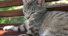 UWAGA! Zaginęła szaro-bura kotka. Pomóżmy właścicielowi ją odnaleźć