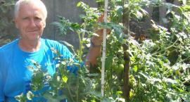 Wyhodował 2-metrowego pomidora