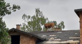Interwencja roku! Strażacy przez ponad dwie godziny ściągali krowę z dachu! [Zdjęcia + wideo]