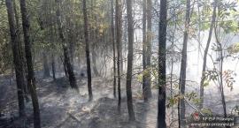 Pożar lasu w Małowidzu. Spaleniu uległo