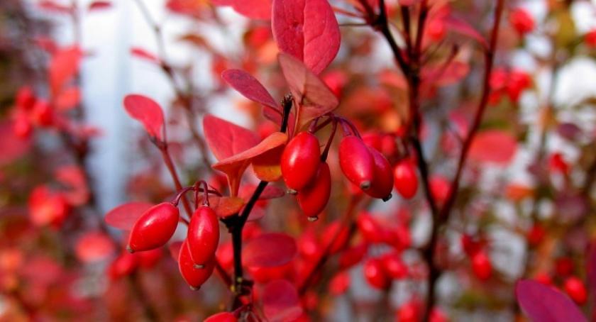 Styl życia, Berberys piękny krzew ogrodu Uprawa pielęgnacja - zdjęcie, fotografia