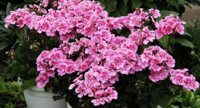 Styl życia, Najpiękniejsze kwiaty ogrodu balkon znajdziesz Garden Kiełpinie - zdjęcie, fotografia