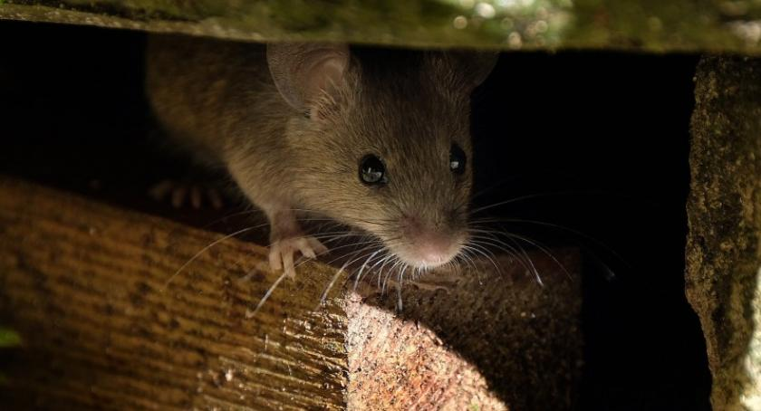 Styl życia, szczury Sprawdź skutecznych sposobów gryzonie! - zdjęcie, fotografia