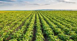 Zaraza ziemniaka – charakterystyka i zwalczanie