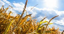 Susza bardzo daje się we znaki rolnikom w powiecie. Mogą składać wnioski o oszacowanie szkód