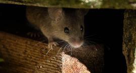 Masz w domu szczury? Sprawdź 5 skutecznych sposobów na gryzonie!