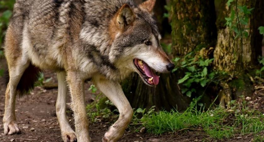 Leśnictwo i łowiectwo, Jelenie łosie daniele wilki Jakie zwierzęta możemy spotkać kościerskich lasach - zdjęcie, fotografia