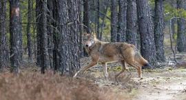 Wilki pojawiły się w kościerskich lasach
