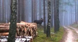 Rodzina łosi w karsińskich lasach