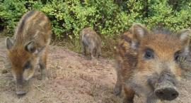 Zagrożenie Afrykańskim Pomorem Świń - w kościerskich lasach rusza wielka inwentaryzacja dzików