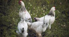 Trwają ćwiczenia służb na wypadek ptasiej grypy
