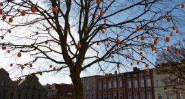 Na rynku w Kościerzynie drzewo obrodziło w pomarańcze