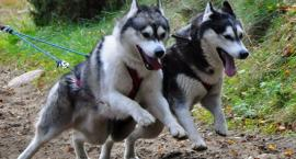 W weekend Mistrzostwa Polski psich zaprzęgów