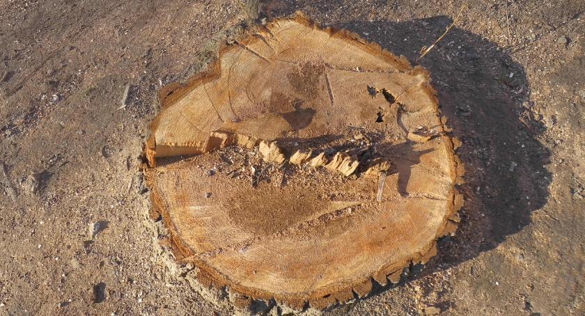 zieleń, Konserwacja drzew pomocą piły spalinowej Zdrowe chore - zdjęcie, fotografia
