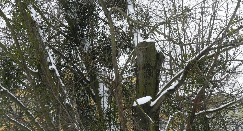 zieleń, Opaczewski urzędnicy uspokajają - zdjęcie, fotografia