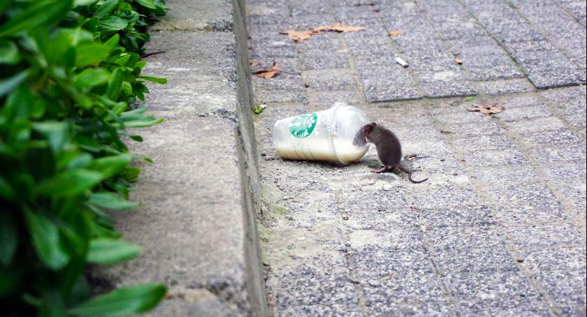 Jak poradzić sobie z plagą szczurów?