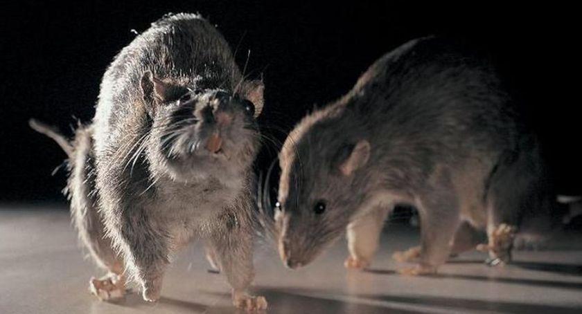 Gospodarka odpadami, Trucie szczurów obowiązkowe - zdjęcie, fotografia