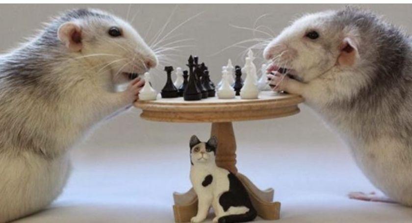Bezpieczeństwo, Szczury wygrywają urzędnikami - zdjęcie, fotografia