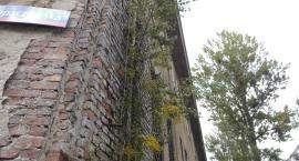 Na Opaczewskiej drzewa dalej rosną na ścianie.