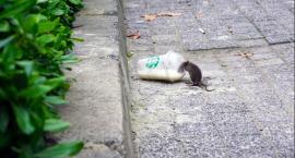 Plaga szczurów? Jak się pozbyć nieprzyjemnych gości?