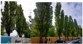 Skąd nagła troska o losy drzew?