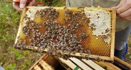 Pszczoły zamieszkają we Włochach