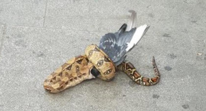 Londyn pozazdrościł Warszawie: wąż boa pożarł gołębia na oczach gapiów na centralnej ulicy miasta