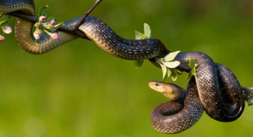Na ul. Emilii Plater wąż ukąsił strażnika miejskiego. Strażnik żyje, a wąż w ZOO...