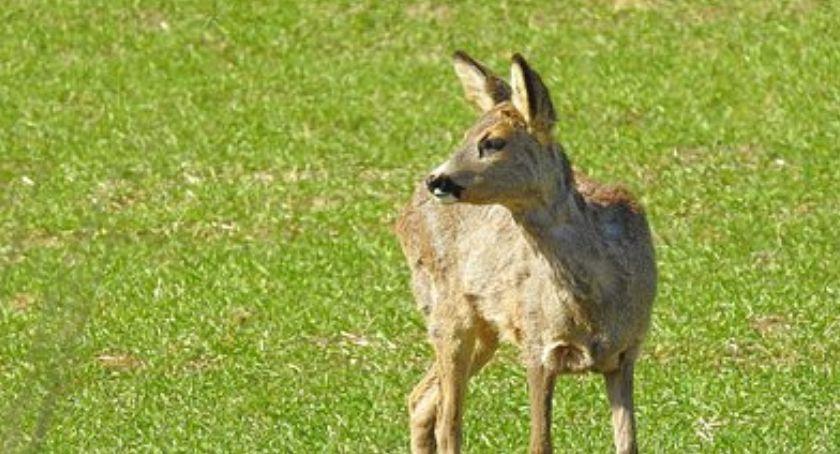 Zwierzęta, Sarna utknęła ogrodzeniu - zdjęcie, fotografia