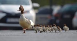Tracze nurogęsi (takie kaczki) drepczą po Myśliwieckiej i Czerniakowskiej w drodze do Wisły