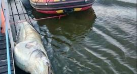90-letni sum złowiony przy Pomoście 511, obok Bulwaru Flotylli Wiślanej: długość: 2,27 m!