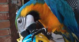 Charlie odnaleziony! Papuga Oksany Volskiej na powrót w bezpiecznym domu