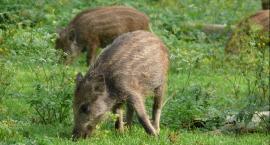 Dziki ukochały Mokotów, zwłaszcza działkowców, i to one powinny być w ewentualnym herbie Mokotowa