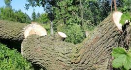 Rozłupane drzewo przy ul. Bernardyńskiej. Odpadł potężny konar. Dlaczego? Teorie są różne…