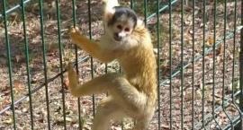 Małpka kapucynka pozazdrościła pytonowi tygrysiemu i wyrwała się na wolność. Nie na długo!