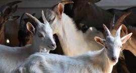 Kozy i owce pasą się na środku Wisły na jednej z wysepek przy Moście Gdańskim