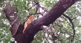 Niebezpieczny złamany konar drzewa usunęli strażacy na ul. Morszyńskiej (fotorelacja)