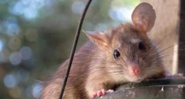 Deratyzacja - czyli jak skutecznie pozbyć się szczurów