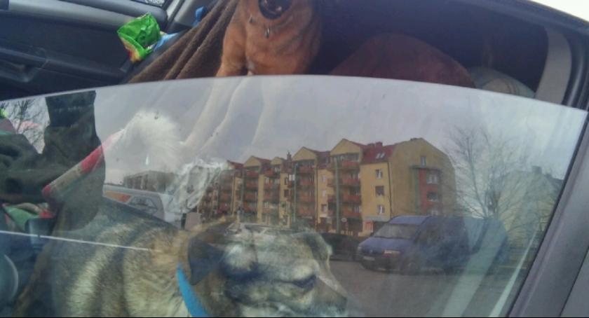 Interwencja, psów zamkniętych aucie - zdjęcie, fotografia