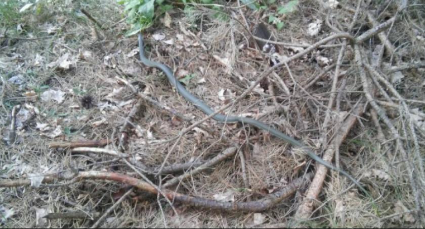 Interwencja, Wąż jednej radomskich posesji - zdjęcie, fotografia