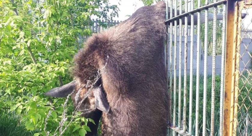 Interwencja, Łoś ogrodzeniu boiska Słowackiego - zdjęcie, fotografia
