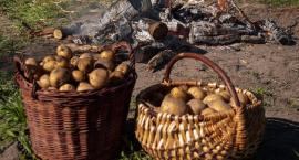 Festiwal Ziemniaka w Muzeum Wsi Radomskiej już dziś!