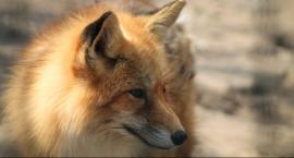 Szczepienie lisów. Uwaga na psy i koty
